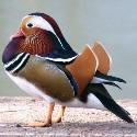 duckntroll